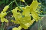 Flori de gulie