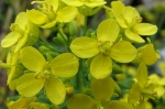Flori de nap