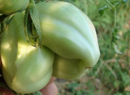 tomata diforma3 2013.08.22